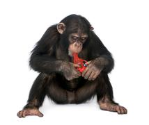 Young Chimpanzee playing with a gun (5 years old) - stock photo