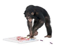 Chimpanzee drawing on a canvas - Simia troglodytes (5 years old) Stock Photos