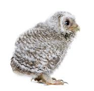 Baby Little Owl, 4 weeks old, Athene noctua, in front of a white Stock Photos