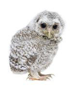 Owlet- Athene noctua (4 weeks old) Stock Photos