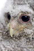 close-up of an owlet's head - Athene noctua (4 weeks old) - stock photo
