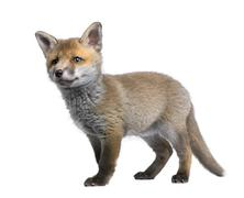 Red fox cub, Vulpes vulpes, 6 weeks old, standing in front of wh Kuvituskuvat