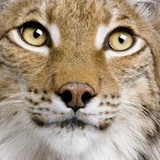 Close-up of Eurasian Lynx, lynx lynx, 5 years old, studio shot Stock Photos