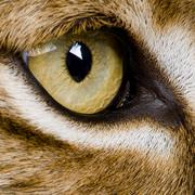 close-up on a feline' eye - Eurasian Lynx - Lynx lynx (5 years o - stock photo