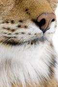 Eurasian Lynx - Lynx lynx (5 years old) Stock Photos