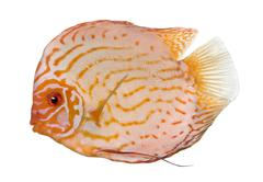 Pigeon Blood Discus (fish) - Symphysodon aequifasciatus - stock photo