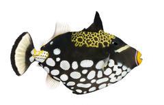 Clown triggerfish - Balistoides conspicillum - stock photo