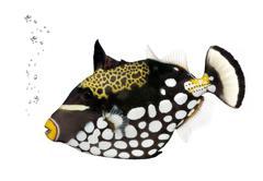 Clown triggerfish, Balistoides Conspicillum, studio shot - stock photo