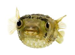 Long-spine porcupinefish also know as spiny balloonfish - Diodon - stock photo