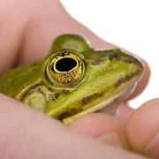 Edible Frog in a hand- Rana esculenta Stock Photos