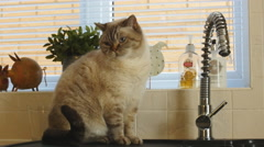 Alejandro Shorthair cat next to running tap 4K Stock Footage