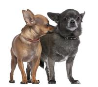Couple of chihuahua in front of a white background. One is looking the other one - stock photo