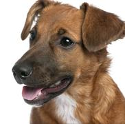 Close-up on a brown Bastard puppy (6 months old) in front of a white background Stock Photos
