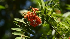Sorbus aucuparia, rowan, with berries Stock Footage