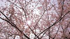 Stock Video Footage of Cherry blossoms in bloom with sunlight
