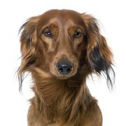 Close-up on a dog's head, Dachshund, front view Stock Photos