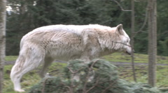 Gray Wolf  On The Move In Forest Stock Footage