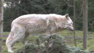 Stock Video Footage of Gray Wolf  On The Move In Forest