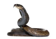 Egyptian cobra - Naja haje Stock Photos