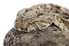 African puff adder - Bitis arietans - stock photo