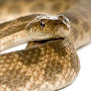 Close-up of rat snake, Malpolon Monspessulanus, studio shot Stock Photos