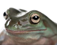 Close-up of Australian Green Tree Frog, Litoria caerulea, studio - stock photo
