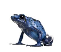 Stock Photo of Blue Poison Dart frog, Dendrobates azureus, against white background, studio sho