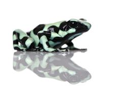 Side view of Green and Black Poison Dart Frog, Dendrobates auratus, against whit Stock Photos