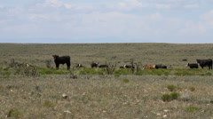 West Texas - Cows in Field 01 Stock Footage