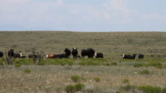 West Texas - Cows in Field 03 Stock Footage