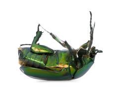 Green flower beetle on backside, Cetonischema aeruginosa, against white backgrou - stock photo