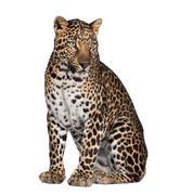 Leopard - Panthera pardus Kuvituskuvat