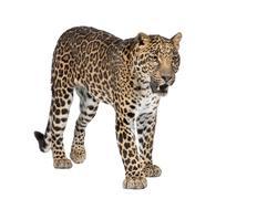 Portrait of leopard, Panthera pardus, standing, studio shot Stock Photos