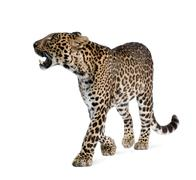 Leopard, Panthera pardus, walking and snarling against white background, studio  - stock photo
