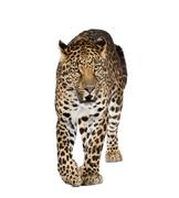 Portrait of leopard walking and snarling, Panthera pardus, against white backgro Stock Photos