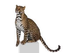 Portrait of leopard, Panthera pardus, on pedestal against white background, stud Stock Photos