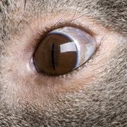 Close-up of male Koala bear eye, Phascolarctos cinereus, 3 years old Stock Photos