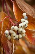 Stock Photo of Symphoricarpos albus on a branch