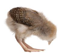 Chick, 13 days old, bending over in front of white background, s - stock photo