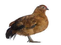 Chick, 44 days old, standing in front of white background Stock Photos