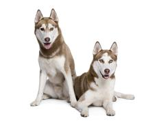 Husky dogs, 4 and 1 year old, sitting in front of white backgrou - stock photo