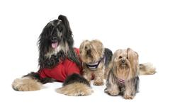 Afghan Hound and Yorkshire dogs sitting in front of white backgr Stock Photos