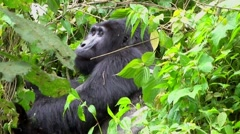 Great silverback Mountain Gorilla in the Bwindi National Park in Uganda Stock Footage