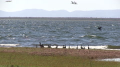 Water birds on windy lake shore Stock Footage