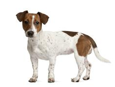 Jack Russell Terrier puppy (7 months old), standing in front of - stock photo