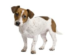 Jack Russell Terrier puppy, 7 months old, standing in front of a - stock photo