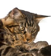 Stock Photo of Maine Coon looking at wild mouse, 7 months old, in front of whit