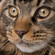 Close-up of Maine Coon's face with whiskers, 7 months old - stock photo