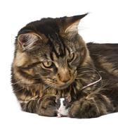 Maine Coon and mouse, 7 months old, sitting in front of white ba - stock photo