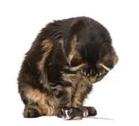 Maine Coon looking at mouse, 7 months old, in front of white bac - stock photo